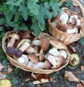 Ароматные лесные грибы фото | Ароматные лесные грибы
