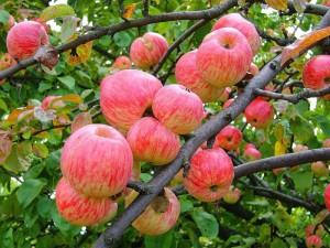 Выбираем для кваса самые вкусные яблоки фото | Выбираем для кваса самые вкусные яблоки