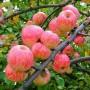 Выбираем для кваса самые вкусные яблоки фото